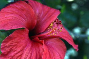 Hibiscus ou Karkadé